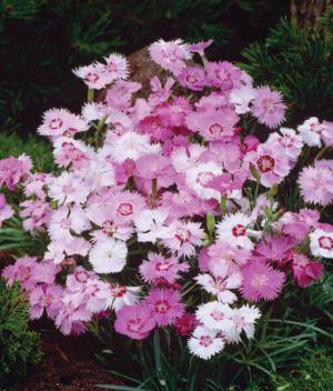 FL2058-Dianthus-Sweetness-510x600